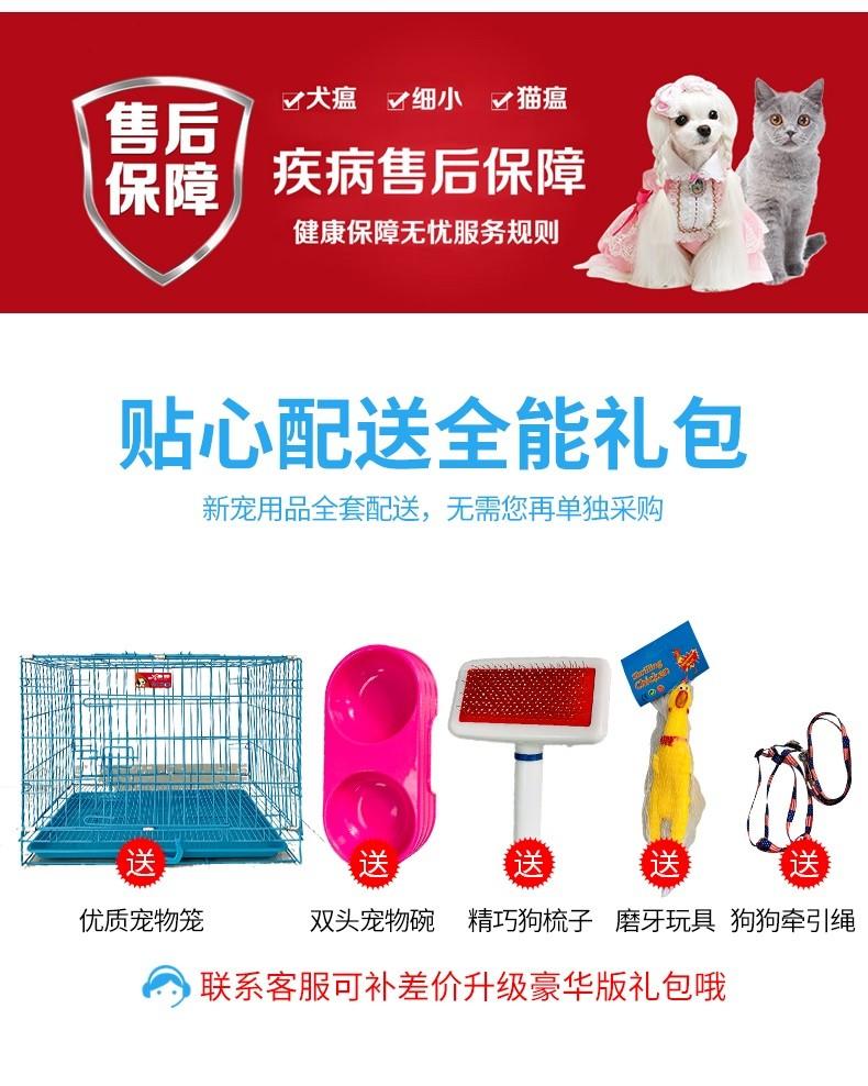 健康优秀紫舌松狮犬低价转让中 广州地区有实体店7