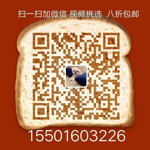 健康优秀紫舌松狮犬低价转让中 广州地区有实体店13