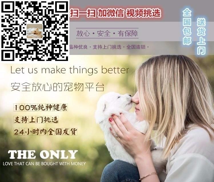 易训练的南昌边境牧羊犬找新主人 保证品质完善售后5