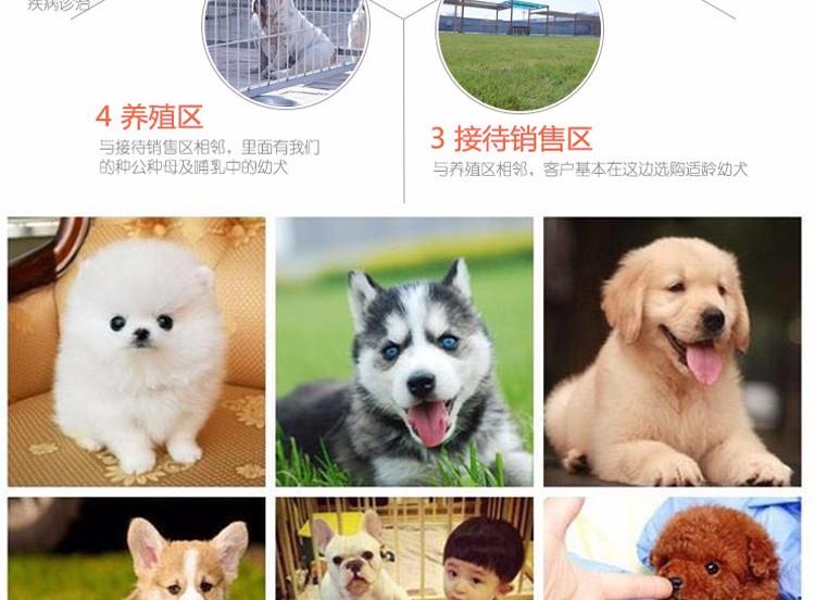 专业犬舍出售精品绵阳哈士奇犬可放心购买9