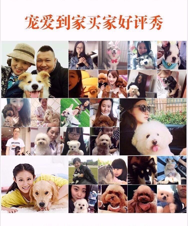 专业犬舍出售精品绵阳哈士奇犬可放心购买8