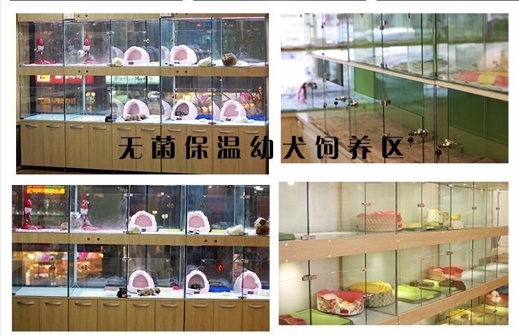 特惠价出售玩具型贵宾疫苗驱虫已做完上海买卖贵宾6