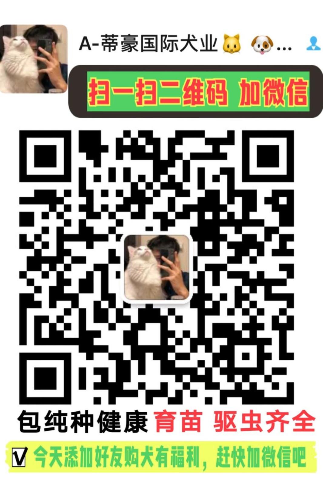 特惠价出售玩具型贵宾疫苗驱虫已做完上海买卖贵宾13