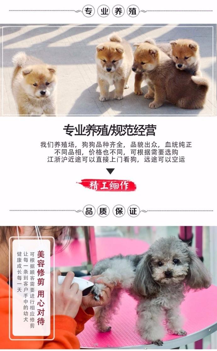 出售勇敢机灵聪明听话的广州比熊犬 带有血统证书13