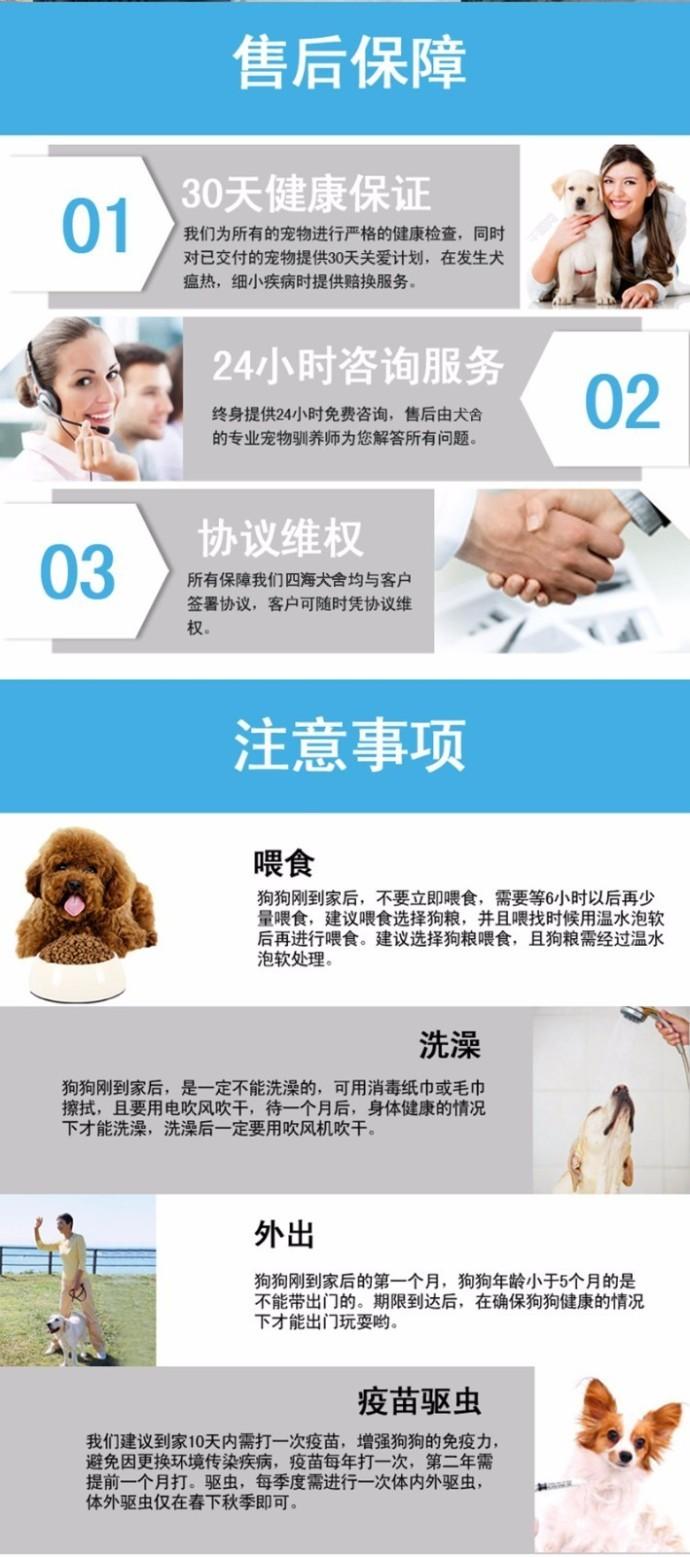 出售勇敢机灵聪明听话的广州比熊犬 带有血统证书12
