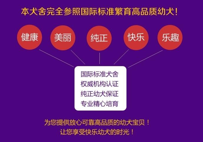 出售勇敢机灵聪明听话的广州比熊犬 带有血统证书10