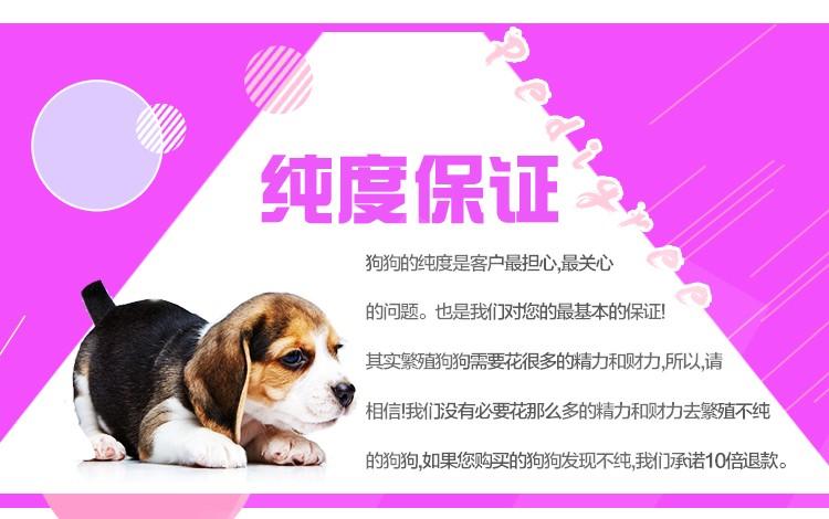 杭州繁殖舍售微笑天使萨摩耶宝宝 售后签保障协议9