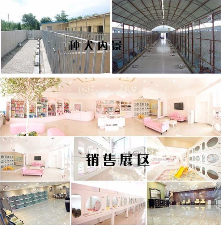 杭州繁殖舍售微笑天使萨摩耶宝宝 售后签保障协议10