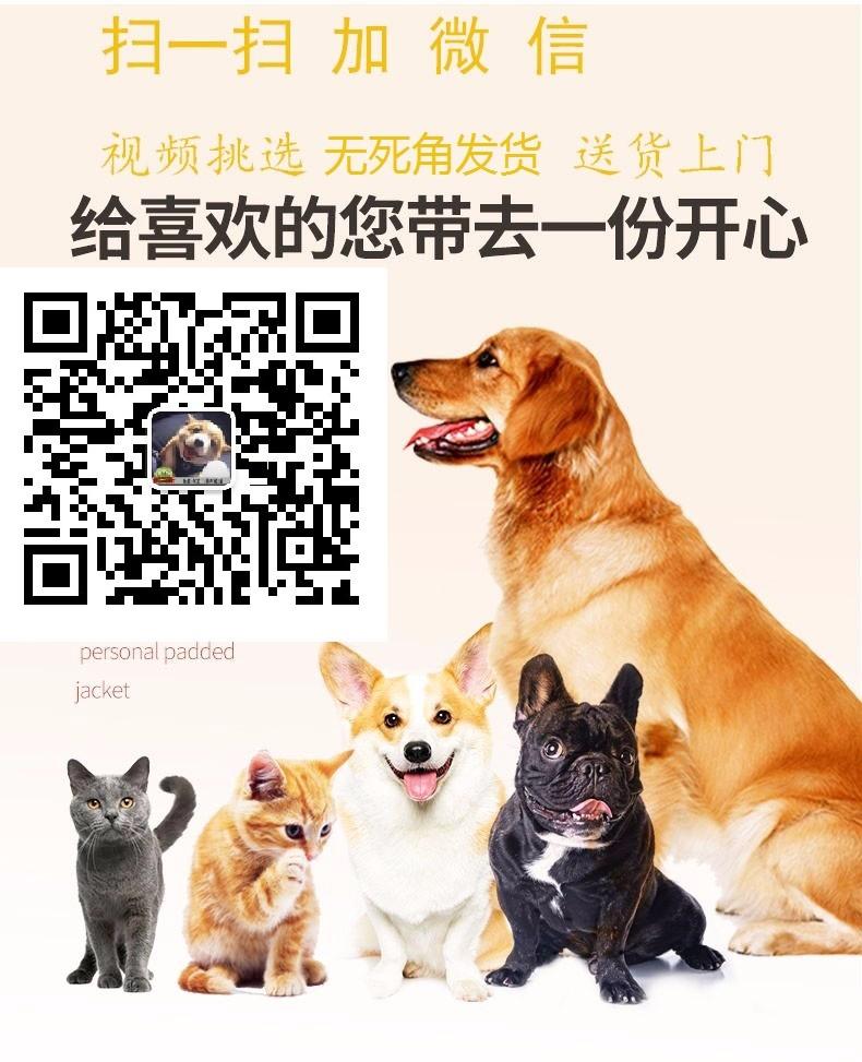 特价出售大骨架福州金毛犬 血统清楚可鉴定保证健康6