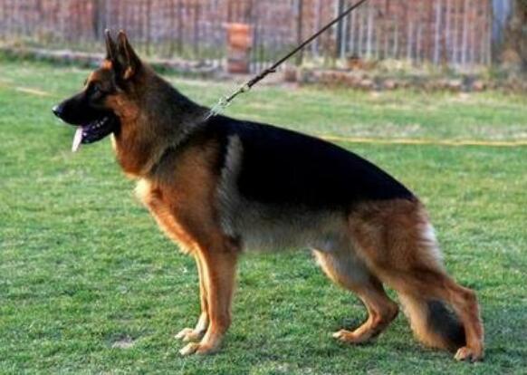 被德国牧羊犬样子迷住了,想要一只,如何正确挑选呢
