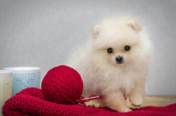 如果想养博美犬,但是不知道应该怎么挑选,这怎么办呢