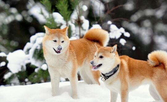 养狗小记:如何去区分秋田犬和柴犬呢?