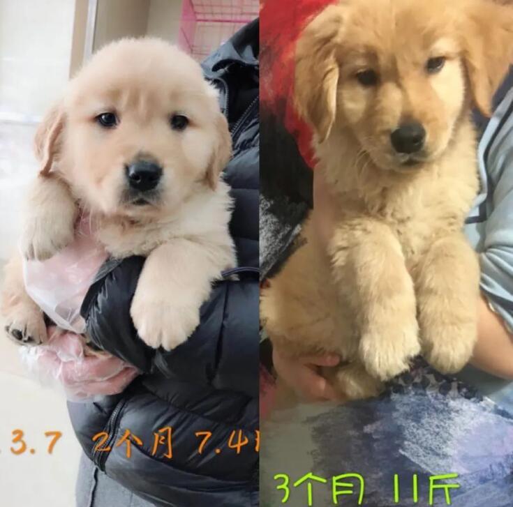 狗走丢两个多月,百公里外的父母打电话:狗怎么回来了