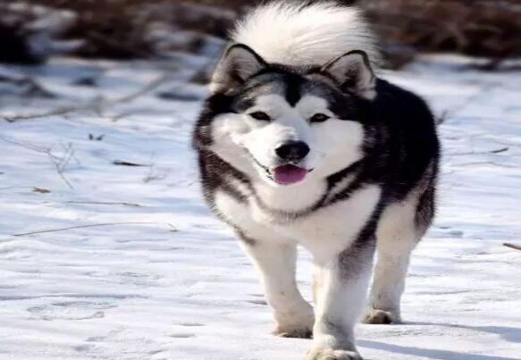 阿拉斯加如何减肥才能变成帅狗狗