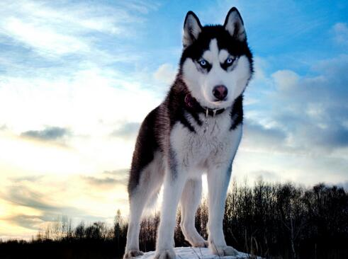 狼的后裔:霸气哈士奇