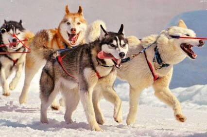 """你知道""""雪橇三傻""""都是哪几个品种的狗狗吗?"""