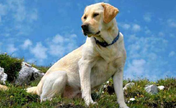 知道养拉布拉多猎犬有什么注意的吗?别再说不知道了