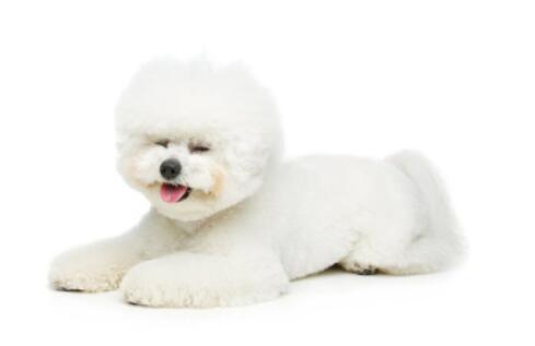 喜欢小型犬,可以考虑选择养比熊犬,这么可爱