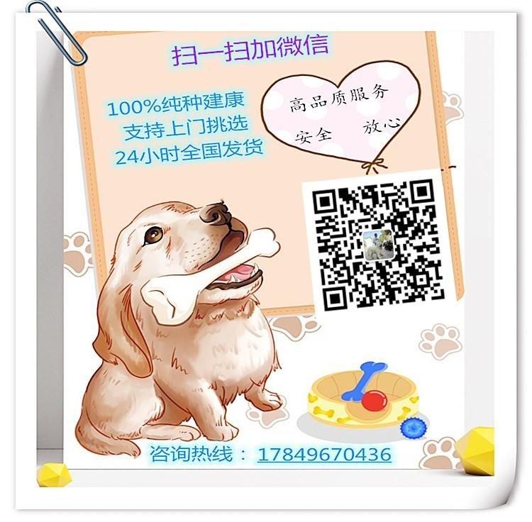 武汉实体店低价促销赛级伯恩山幼犬微信咨询看狗5