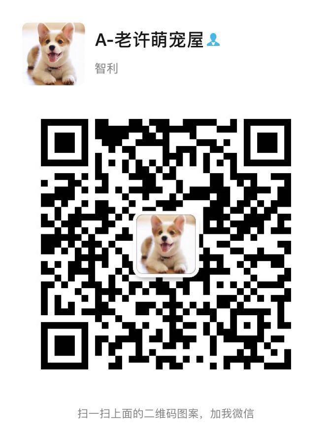 南京精品雪纳瑞幼犬出售 送用品签协议包养活5