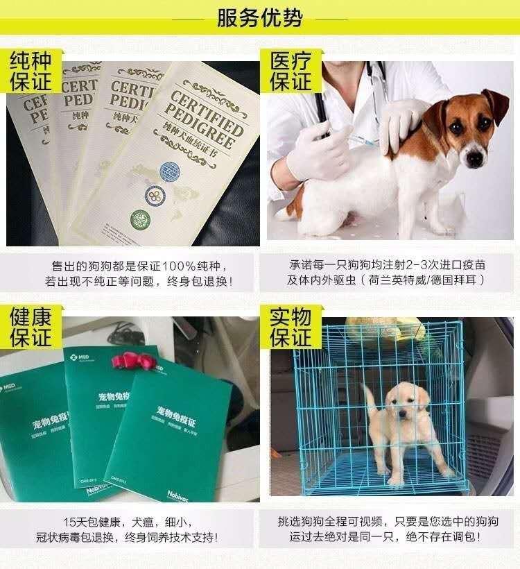 犬舍专业繁殖纯种大白熊幼犬 欢迎来实体狗场挑选11