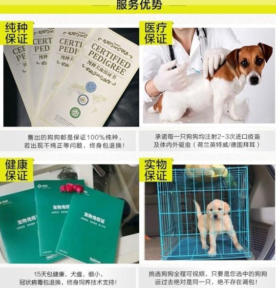 纯种犬培育中心售高品质喜乐蒂犬签质保三年可送货10