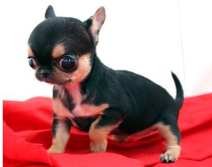 纯种吉娃娃幼犬小狗公母都有 可上门看狗