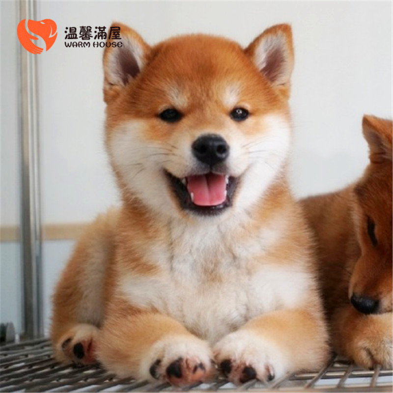 纯种柴犬表情包幼犬小狗 希望能够找到喜欢它们的主人4