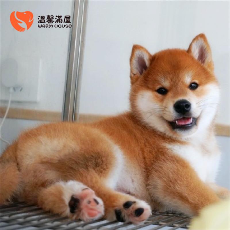 纯种柴犬表情包幼犬小狗 希望能够找到喜欢它们的主人3