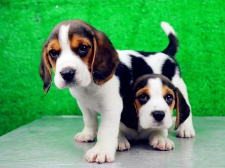 比格犬、纯种比格犬、米格鲁猎兔犬精品比格幼犬找新家1