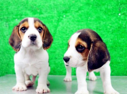 比格犬、纯种比格犬、米格鲁猎兔犬精品比格幼犬找新家2