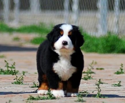 犬舍直销纯种伯恩山宝宝 希望能够找到喜欢他的主人