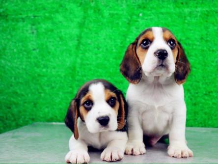 比格犬、纯种比格犬、米格鲁猎兔犬精品比格幼犬找新家3