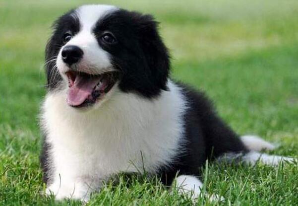 胆子超小的四种狗,边牧上榜,博美不能受到惊吓