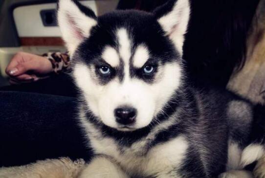 哈士奇是拆家专业户,为什么依旧这么多人养这种狗子