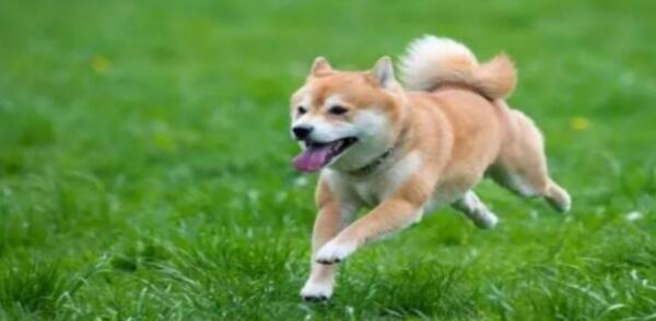 笑眯眯望着你的柴犬,要不要养一只呢?