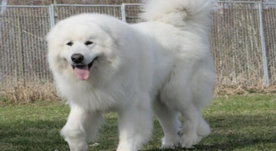 憨态可拘的大白熊犬要如何来挑选呢