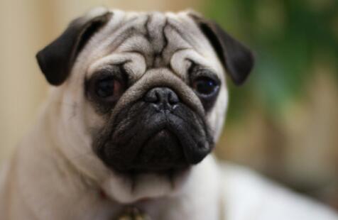 """叫""""巴哥""""的狗狗你知道吗?"""