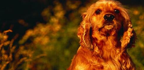 训练可卡犬需要注意的几件事情