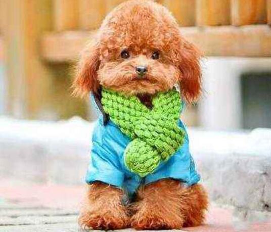 如果你家的泰迪犬出现挑食的情况,你知道原因吗