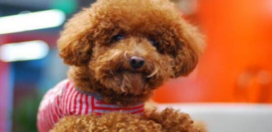想养只泰迪犬,但不知道价格是多少,那就看看介绍吧