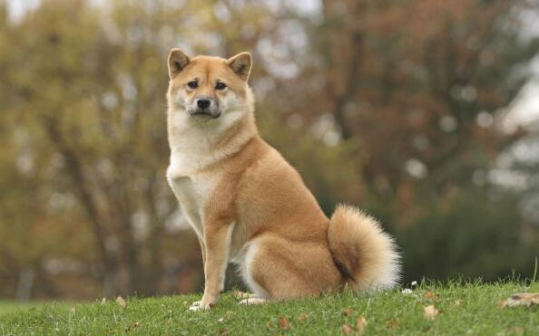 你想拥有一只憨憨柴犬吗?