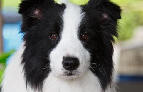 你知道智商排名第一是什么品种的狗吗?