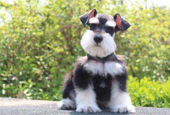 雪纳瑞犬在冬季里有什么需要注意的,估计很多人不知道