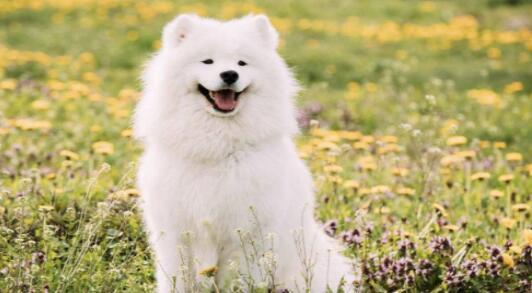 微笑天使萨摩耶掉毛严重的原因及预防办法