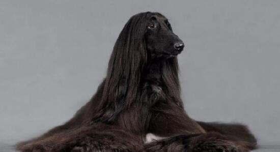 狗中贵族阿富汗猎犬想要一只吗?
