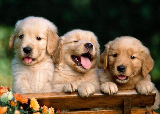 夏天养金毛犬有什么需要注意的呢?赶紧收藏吧