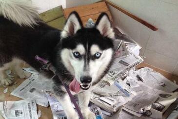 二哈一直拆家怎么办?网友:建议装一个狗头铡