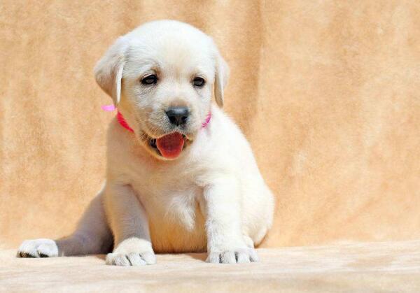 拉布拉多猎犬多少钱,价格如何呢