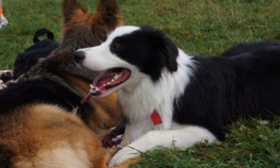 边境牧羊犬,世界是最聪明的狗,买一只需要多少钱